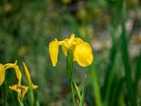 A yellow iris, iris pseudoacorus, blooms in a planter box in a Japanese park.