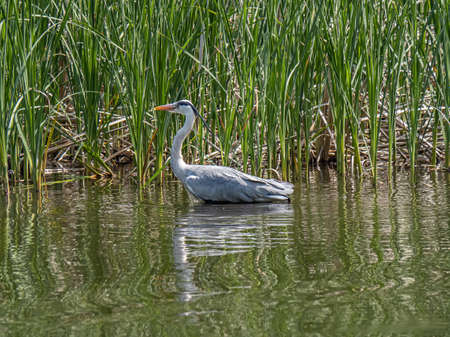 A gray heron,Ardea cinerea jouyi, wades through a pond in Japanese pond. 写真素材