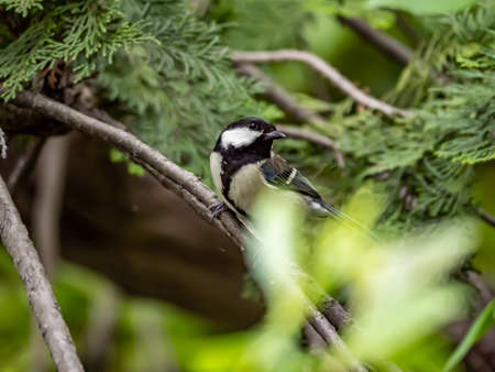 A Japanese tit, parus minor, rests on a small branch in a Japanese park while hunting for insects to eat.