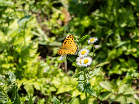 A tropical fritillary butterly, argynnis hyperbius, rests on small white daisies in a Japanese park.