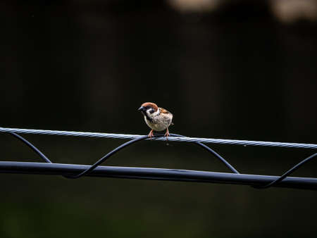 Eurasian tree sparrow, passer montanus, perches on a power line in central Kanagawa, Japan.