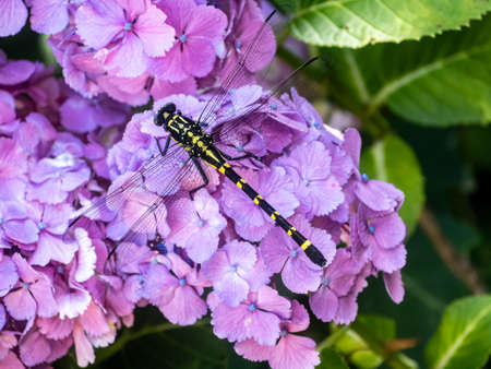A Japanese variant of the common clubtail dragonfly, Ictinogomphus pertinax, rests on purple hydrangeas in a Japanese park beside a river.