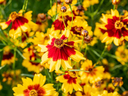 A group of plains coreopsis flowers bloom in a planter box along a Japanese roadside.