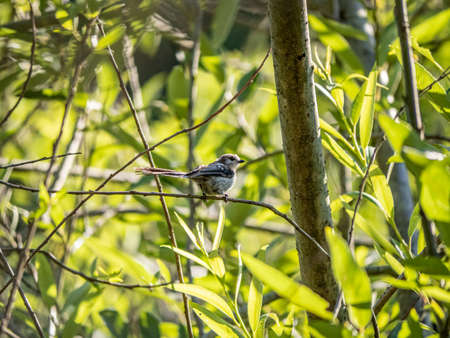 A Japanese long-tailed bushtit ,Aegithalos caudatus trivirgatus, perches in a tree while foraging for food in a forest park.