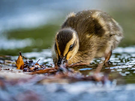 An eastern spot-billed duckling, Anas zonorhyncha, waddles through the shallows of a water feature in a Japanese park.