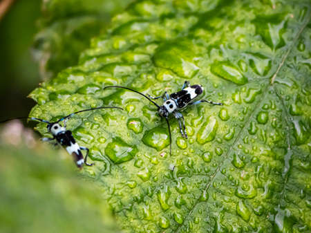 A paraglenea fortunei longhorn beetle rests on a broad leaf in Japan on a rainy day. 版權商用圖片