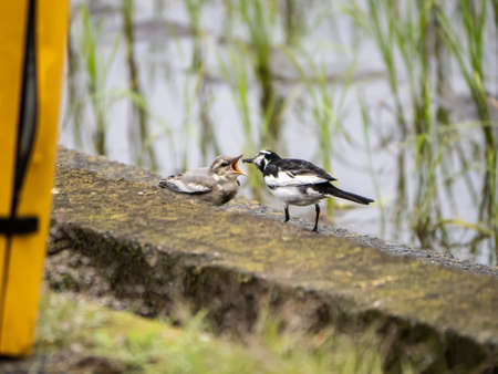 A white wagtail, montacilla alba, feeds a small grub to a juvenile wagtail beside a Japanese rice paddy.