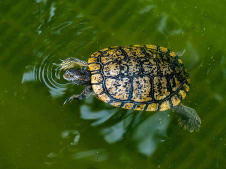 A common slider turtle, trachemys, swims in a moat-like pond in a park in Tokyo, Japan. Stock Photo