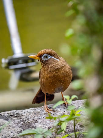 A Chinese hwamei or melodious laughingthrush, Garrulax canorus, perches on a stone border in a Japanese botanical garden.