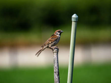 A Eurasian tree sparrow, passer montanus, perches briefly on a post beside a Japanese vegetable garden.
