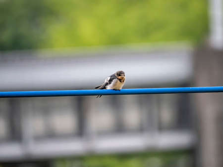 A young barn swallow, Hirundo rustica gutturalis, waits on a power line for an adult to bring it food from the nearby river.