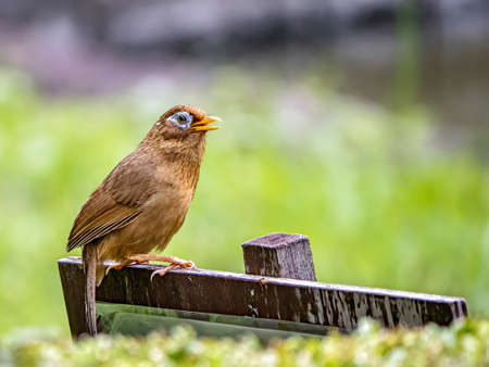 A Chinese hwamei or melodious laughingthrush, Garrulax canorus, perches on a small sign in a Japanese botanical garden. Banco de Imagens