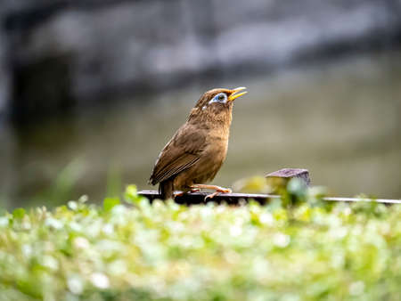 A Chinese hwamei or melodious laughingthrush, Garrulax canorus, perches on a small sign in a Japanese botanical garden. Stock fotó