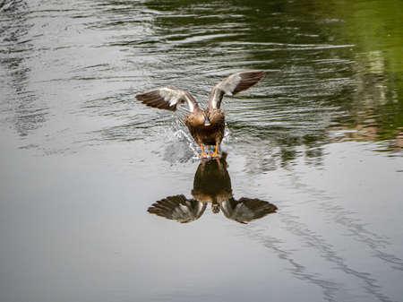 An Eastern spot-billed duck, Anas zonorhyncha, landing on the Sakai River in Yokohama, Japan. Stock fotó