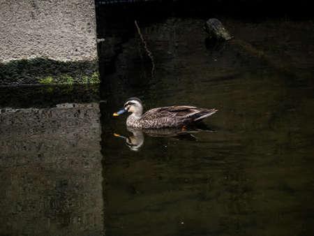 An Eastern spot-billed duck, Anas zonorhyncha, floating on the Sakai River in Yokohama, Japan. Stock fotó