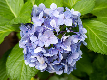 A small cluster of blue hydrangeas bloom beside a walking path in central Japan. Stock fotó