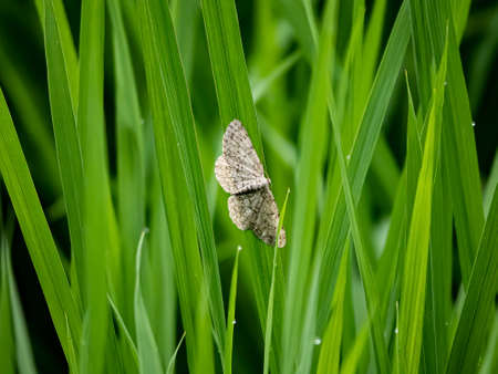 A small engrailed moth rests on a blade of green rice in a Japanese rice field in Kanagawa, Japan. Stock fotó