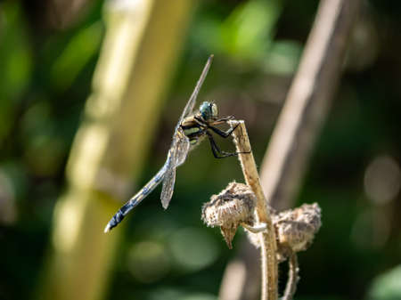 A Japanese white-tailed skimmer, Orthetrum albistylum, rests on the end of a brown reed stalk. Stock fotó - 129513545