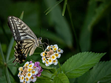 A papilio xuthus butterfly, also commonly called an Asian swallowtail, Chinese yellow swallowtail, or Xuthus swallowtail, feeds from small lantana flowers in a Japanese forest. Banque d'images - 129562689
