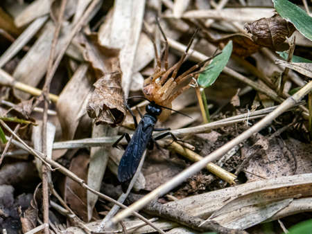 A scolia oculata wasp pulls a dead spider across the forest floor, rushing into cover where it can then eat its catch.