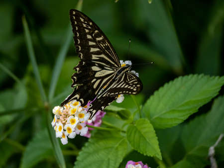 A papilio xuthus butterfly, also commonly called an Asian swallowtail, Chinese yellow swallowtail, or Xuthus swallowtail, feeds from small lantana flowers in a Japanese forest. Stockfoto