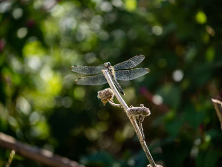 A Japanese white-tailed skimmer, Orthetrum albistylum, rests on the end of a brown reed stalk. Stock fotó - 129562024
