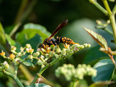 A Rothneys paper wasp, polistes rothneyi, on a cluster of small bushkiller flowers in a park in Yokohama, Japan