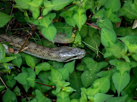 A Japanese rat snake, Elaphe climacophora, slithers along the side of the small headwater of the Izumi River in Yokohama, Japan.