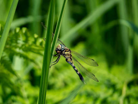 A female Japanese white-tailed skimmer, Orthetrum albistylum, rests on a reed in Saza village, Japan.