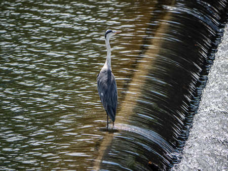 An Eastern gray heron, Ardea cinerea jouyi, stands on a spillway in the Saza River, Nagasaki Prefecture, Japan. Фото со стока
