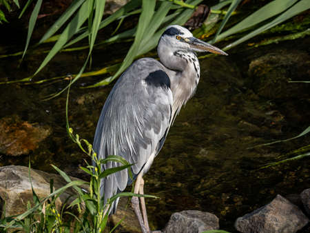 An Eastern gray heron, Ardea cinerea jouyi, stands in the Sasebo River in Sasebo, Japan.