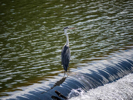 An Eastern gray heron, Ardea cinerea jouyi, stands on a spillway in the Saza River, Nagasaki Prefecture, Japan. Reklamní fotografie