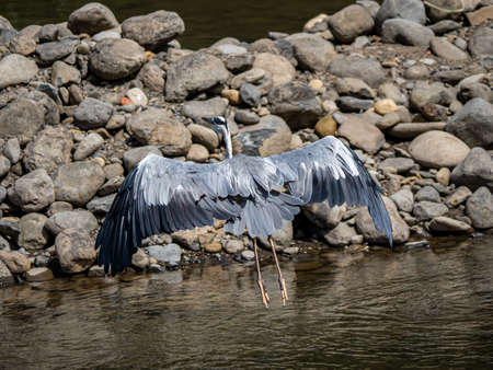 An Eastern gray heron, Ardea cinerea jouyi, stretches its wings in the Saza River, Nagasaki Prefecture, Japan