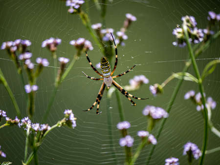 A large argiope bruennichi spider sits in its web among the long grass beside the Saza River in Nagasaki Prefecture, Japan.