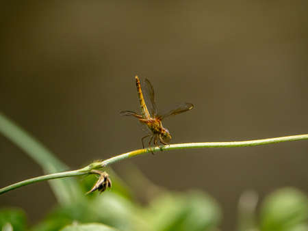 A Japanese female scarlet skimmer, Crocothemis servilia mariannae , perches on a vine beside an irrigation canal in Saza village, Japan.