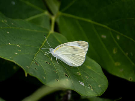 A small cabbage white butterfly, Pieris rapae, rests on a broad leaf in Saza Village, Japan.