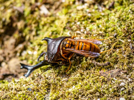 A Japanese yellow hornet, Vespa simillima xanthoptera, eating the remains of a dead Japanese rhinoceros beetle, Allomyrina dichotoma, in a park in Sasebo, Japan.