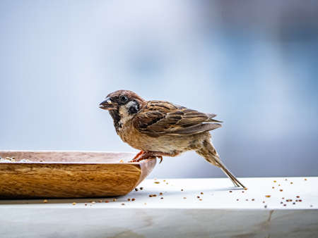 A Eurasian tree sparrow, passer montanus, feeds from a small wooden dish, spilling seeds as it eats.