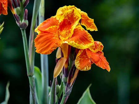 yellow fringed orange canna lillies bloom in a Japanese garden Banco de Imagens