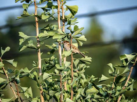 A eurasian tree sparrow, passer montanus, hides in the leaves of a ginkgo tree in Yokohama, Japan.