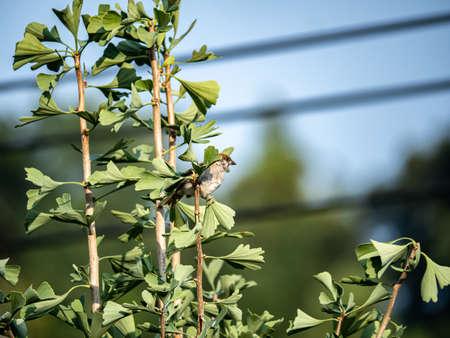 A eurasian tree sparrow, passer montanus, hides in the leaves of a ginkgo tree in Yokohama, Japan. Banco de Imagens