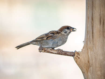 A eurasian tree sparrow, passer montanus, perches on a home-made bird feeder on a balcony in Yokohama, Japan.