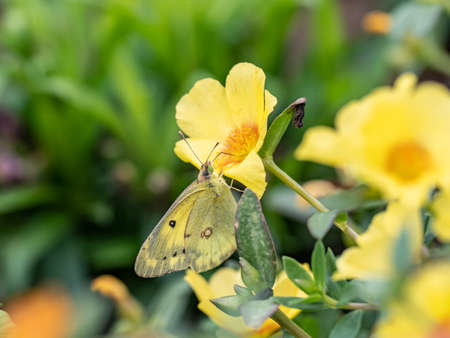 An eastern pale clouded yellow butterfly, Colias erate or Colias poliographus, feeds from flowers in a garden in Tachikawa, Japan.