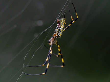 A Nephila clavata, a type of orb weaver spider native to Japan where it is called joro-gumo or joro spider, waits in its web for prey.