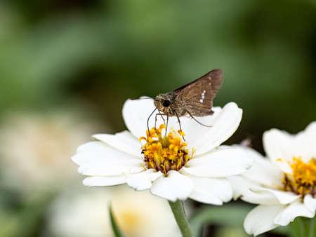 A common straight swift butterfly, Parnara guttata, feed on nectar from flowers in a Japanese flower garden.