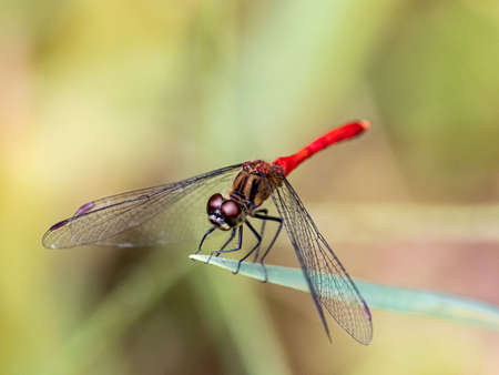 Japanese sympetrum risi yosico dragonflies, part of a family of dragonflies known as darters or meadowhawks, perches on a leaf in a Japanese park.