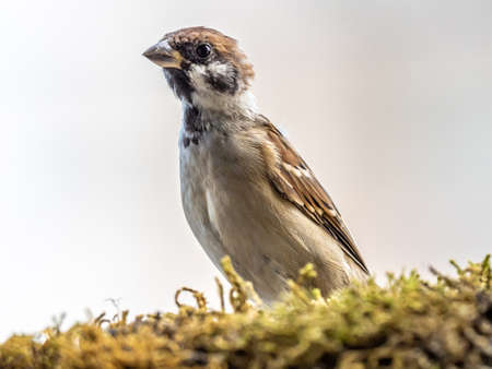 A eurasian tree sparrow, passer montanus, perches and peaks over a moss covered ledge.