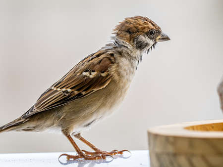 A eurasian tree sparrow, passer montanus, stands on a ledge while looking at a small bird feeder. Stock fotó