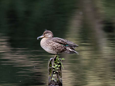 A female eurasian green-winged teal duck, Anas crecca, sleeps while perched on a wooden pole in a small Japanese pond. Stock fotó