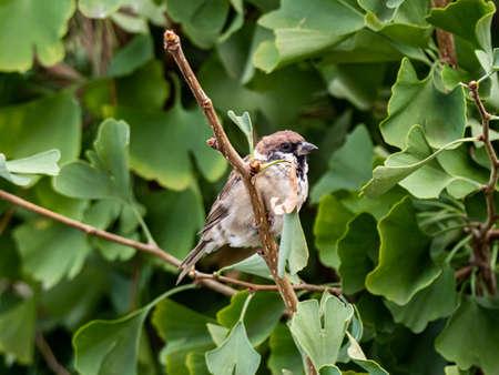 A eurasian tree sparrow, passer montanus, hides in the leaves of a ginkgo tree in Yokohama, Japan. Stock fotó